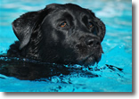 Dog in Pool, Photo by Andrew Cattani