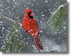 Cardinal Winter, Photo by Lorraine Schibani