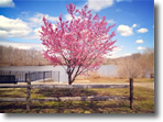 The first tree to bloom at Mill Pond, Wantagh, Photo by Erica Glatt